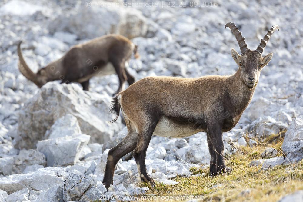 Stambecco (Alpine ibex) sulle Marmarole | Dolomiti