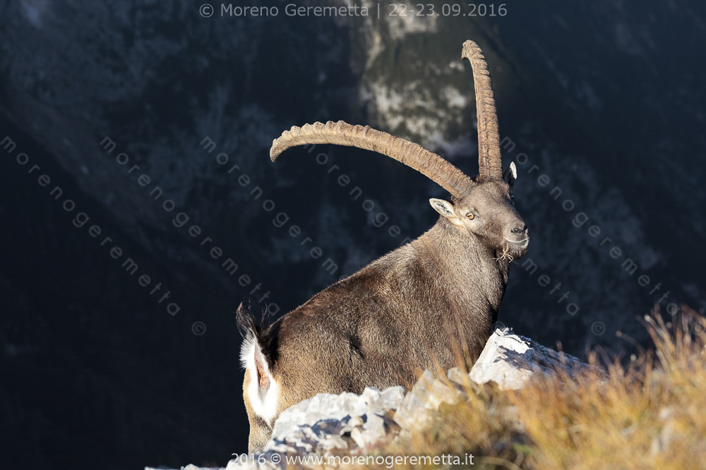 Stambecco ( Alpine ibex), il re delle Marmarole